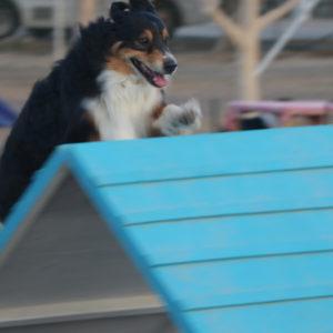 jebel-k9-dog-sports-agility